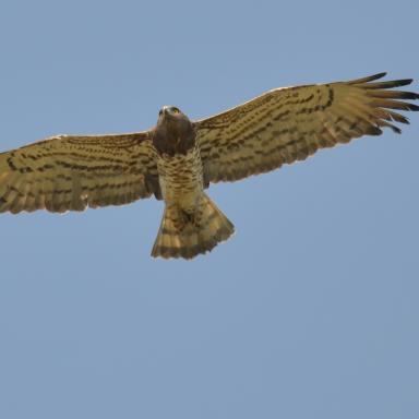 Φιδαετός- Short-toed Eagle